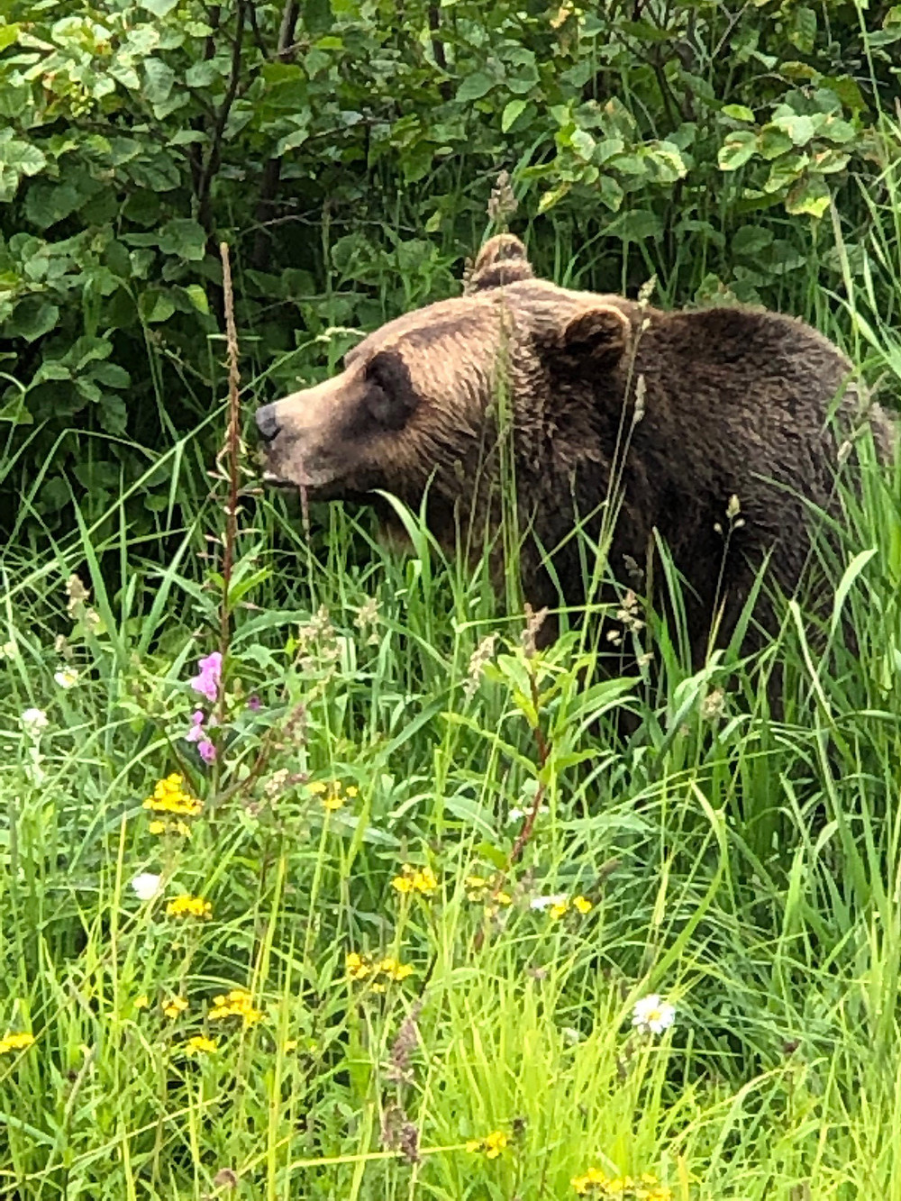 Grizzly Bear Sanctuary in Banff