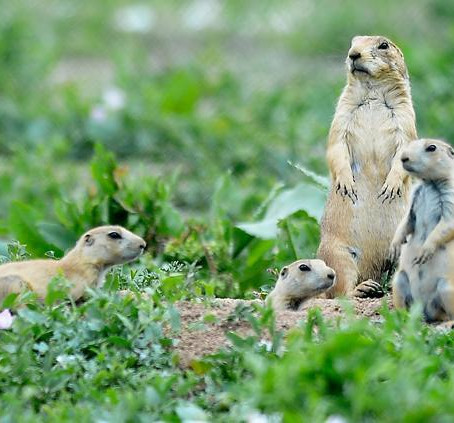 Broomfield Moving Prairie Dogs
