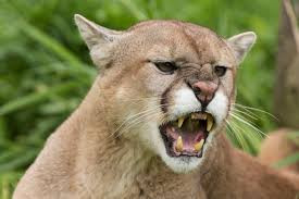 More Mountain Lions Spotted
