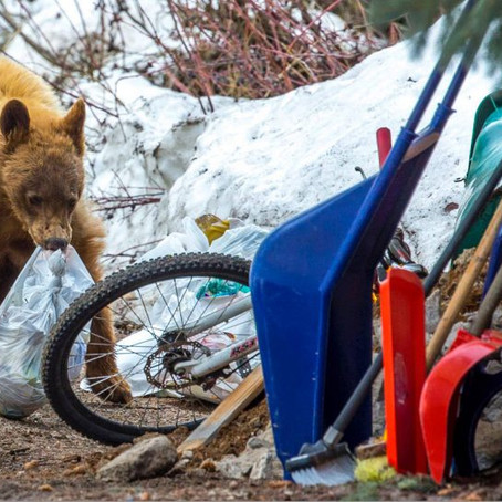Bear Activity Up In Boulder