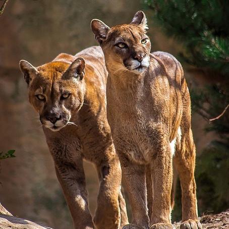 Mountain Lions No Longer Fear Humans