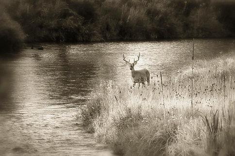buck deer on mission creek