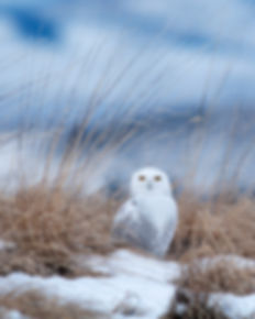 Great Snowy Owl
