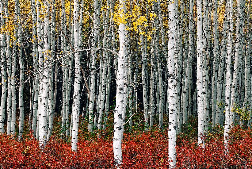 Autumn Aspen Stand