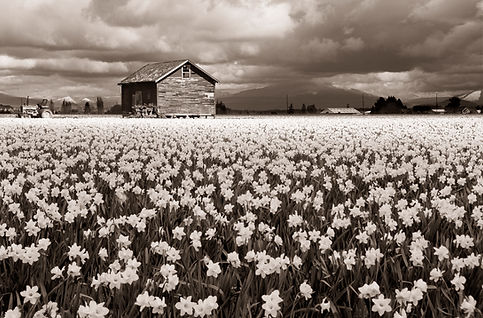 Daffodil farm in Washington black and white photograph by Scott Wheeler