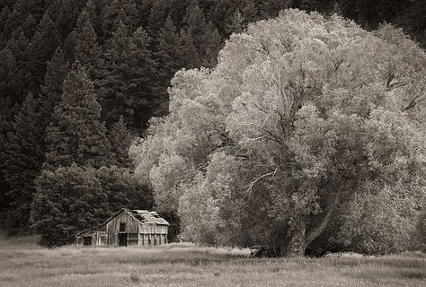 Rustic Barn and willow tree black and white photograph by scott Wheeler
