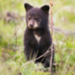 Black Bear Cub in Yellowstone by Scott Wheeler Photography