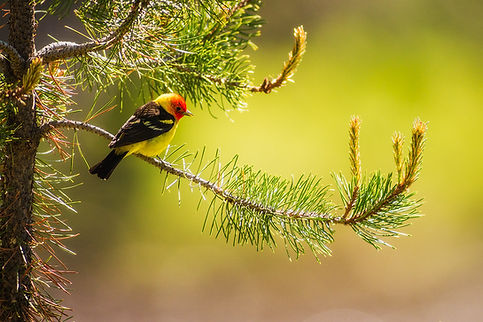 male Western Tanager by Scott Wheeler Photography