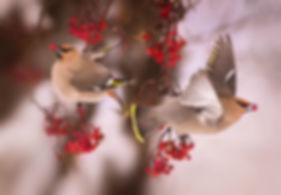 bohemian waxwings in mountain ash by Scott Wheeler Photography