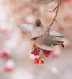 Bohemian Waxwing Birds eating Mountain Ash Tree Berries