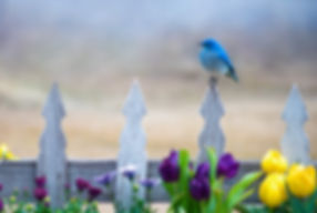 Bluebird on a picket fence by Scott Wheeler Photography