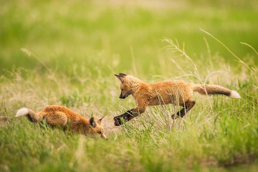 Fox pup Playing kits spring photograph Scott Wheeler