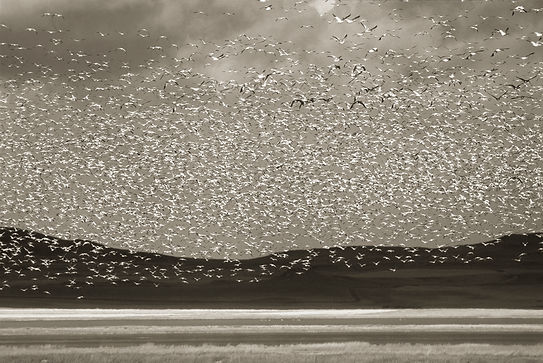 Snowgoose migration by Scott Wheeler Photography