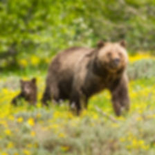 Grizzly Bear Sow and Cub by Scott Wheeler Photography