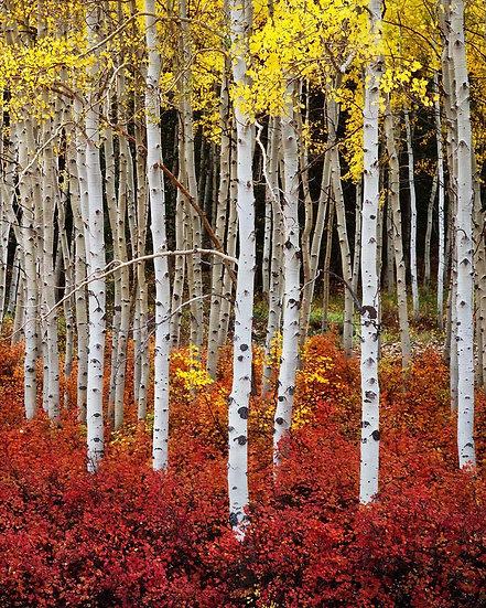 Autumn Aspen Stand (Vertical)