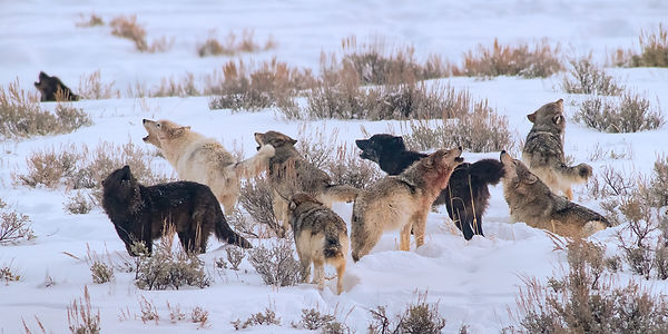 wolves howling in yellowstone during winter