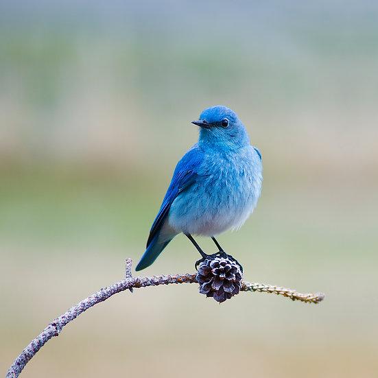 male mountain bluebird photograph by scott wheeler