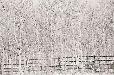 winter aspen trees by Scott Wheeler Photography