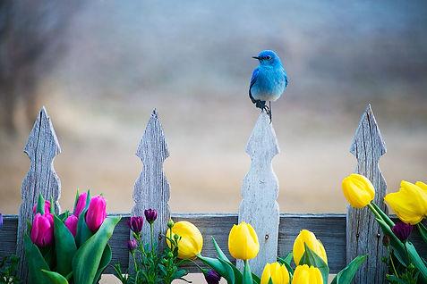 Male Mountain Bluebird on a picket fence photography by Scott Wheeler