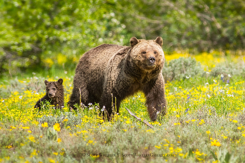 Grizzly Bear Sow Cub Wildflowers Spring Photograph Scott Wheeler