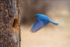 flying mountan bluebird by Scott Wheeler Photography