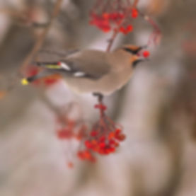 bohemian waxwing eating mountain ash berry by Scott Wheeler Photography