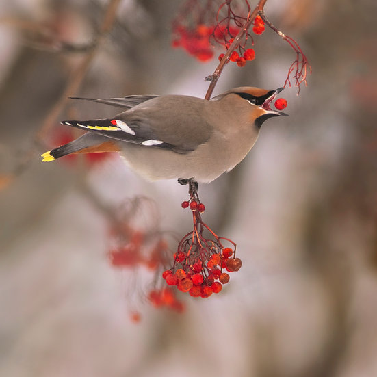 bohemian waxwing red berry migration eating scott wheeler