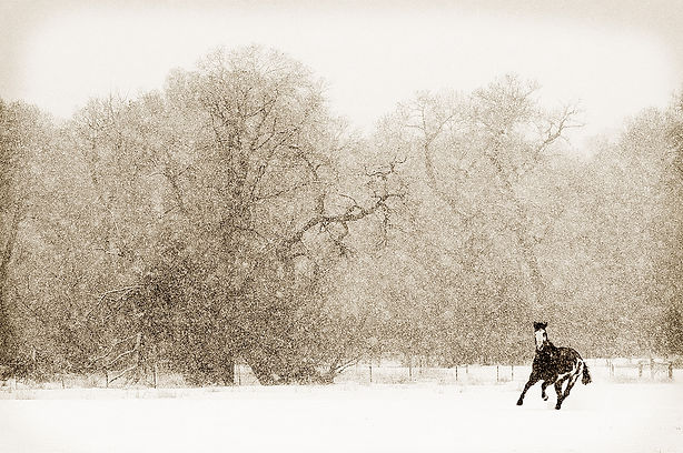 Horse in a snowstorm black and white photograph by scott wheeler