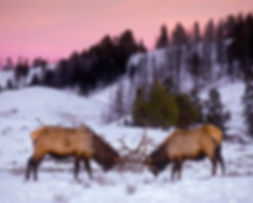 bull elk sparring by Scott Wheeler Photography