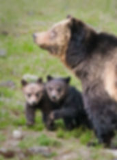 grizzly sow and cubs by Scott Wheeler Photography