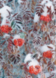 frost on mountain ash berries by Scott Wheeler Photography