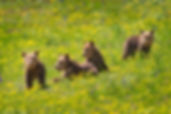 Grizzly Bear 399 four cubs in Grand Teton National Park photograph by Scott Wheeler