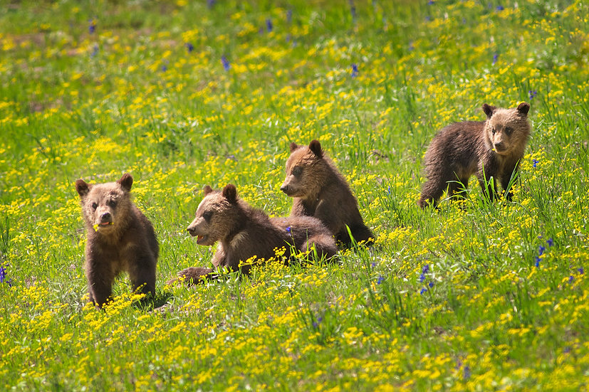 Grizzly 399's Four Cubs