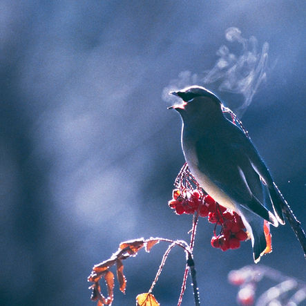 cedar waxwing singing by Scott Wheeler Photography