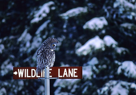 great gray owl on street sign by Scott Wheeler Photography