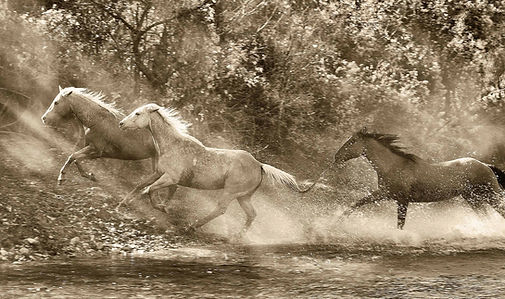 horses running through a river black and white photograph by scott wheeler
