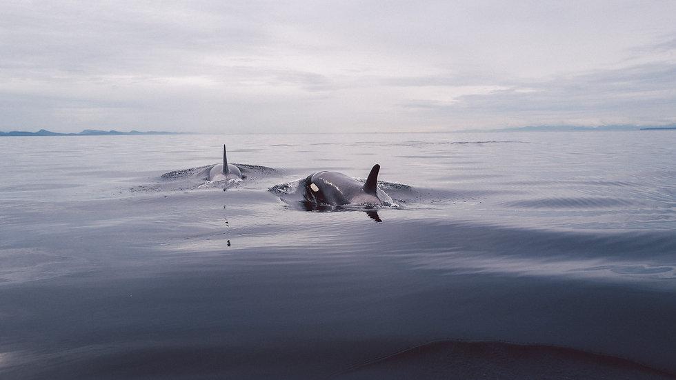 "Photoprint, Motiv ""Orca's x Kanada"", 45cm x 30cm"