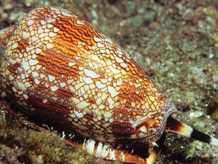 Cone Snails