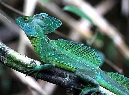 Basilisk Lizards