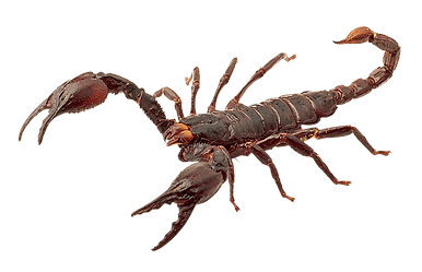 Scorpion-Transparent-PNG-Image-Free-1.pn