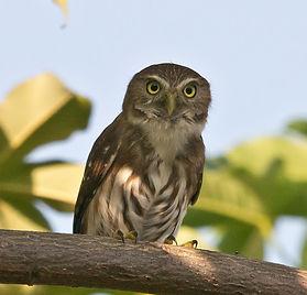 ferruginous.pygmy-owl.mocambo.2019.10.06