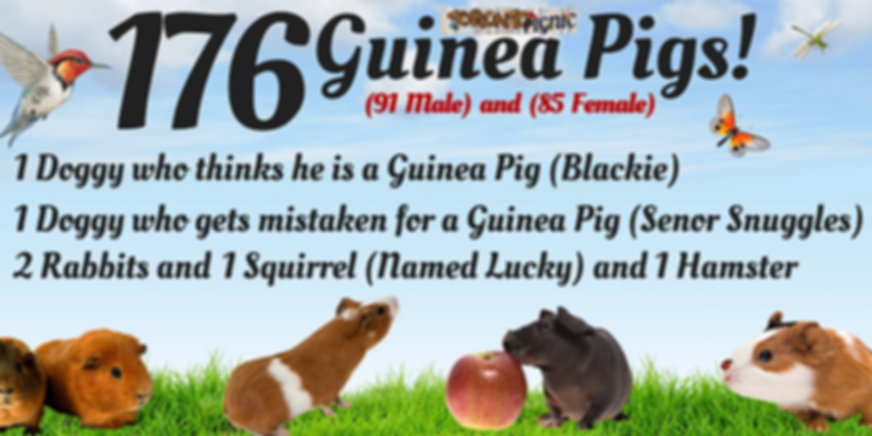 Guinea Pigs Toronto Pignic Numbers Attendance Registered