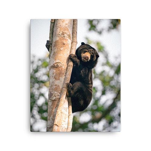 Bornean Sun Bear, Borneo | Canvas