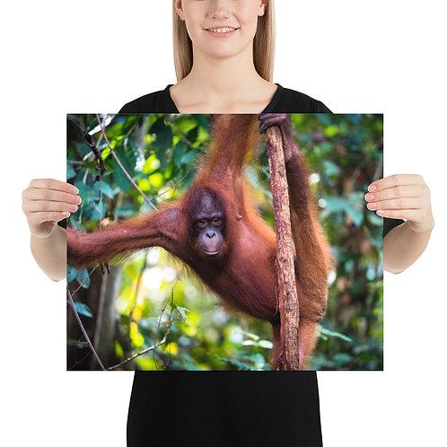 Wulan - Orangutan, Borneo | Prints
