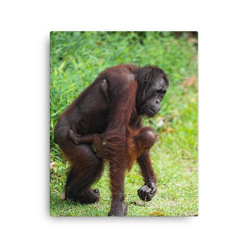 Mimi - Orangutan, Borneo   Canvas