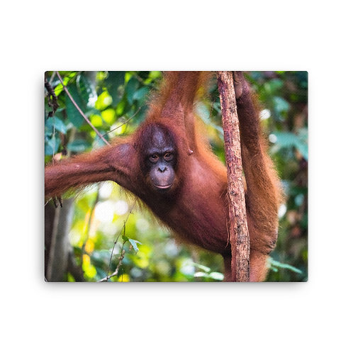 Wulan - Orangutan, Borneo   Canvas