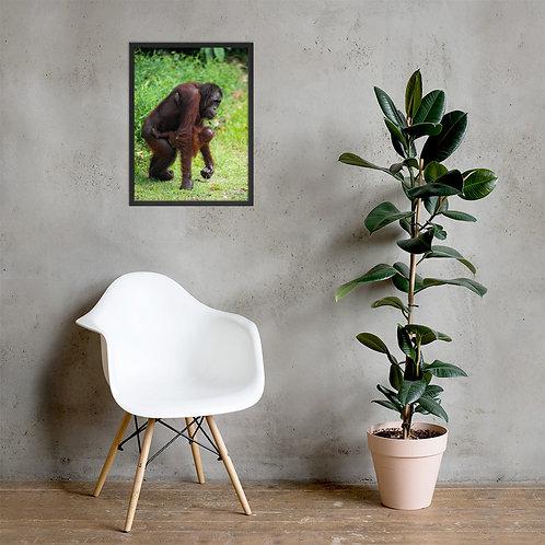 Mimi - Orangutan, Borneo   Framed