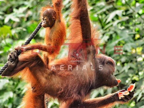 Orangutan's | Sabah, Malaysia, Borneo