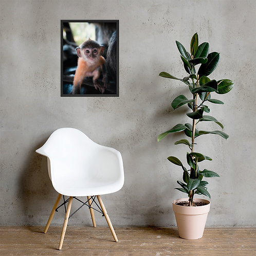 Baby Silver Monkey, Borneo   Framed