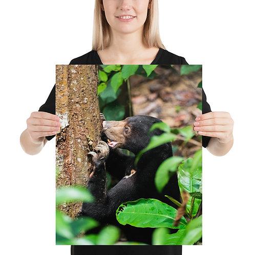 Bornean Sun Bear, Borneo | Print